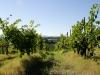 Viñedos de Toscana