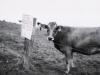 La vaca extranjera