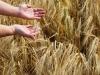 El trigo mostrado