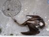 Los pelícanos también mueren