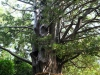 Un árbol sagrado