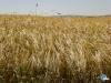 Campo de trigo (o fondo de Windows)