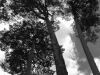 La elegancia de los pinos