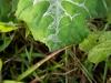 Spider-leaf